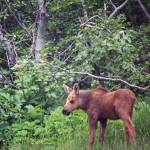 """Baby Moose, Blue Flowers"", Alaska (from Lifeslices, 2012)"