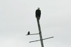 """Bald Eagle Plus One"", Alaska (from Lifeslices, 2012)"
