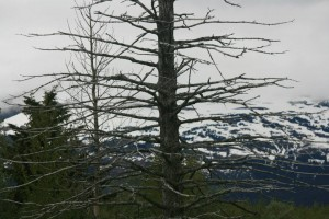 """Earthquake Tree"", Alaska (from Lifeslices, 2012)"