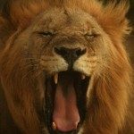 """""""Lion"""", South Africa (from Lifeslices, 2009)"""